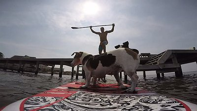 Dogs love sup boards